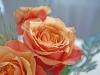rose-7-1024x768.jpg