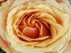 rose1-1024x768.jpg