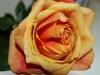 rose10-1024x768.jpg