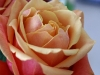 rose2-1024x768.jpg
