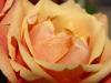 rose3-1024x768.jpg