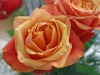 rose9-1024x768.jpg