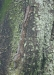 Blattschwanzgekko