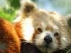 kleiner-panda-1024x768.jpg