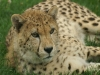 Gepard