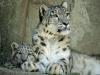schneeleopard-1024x768.jpg